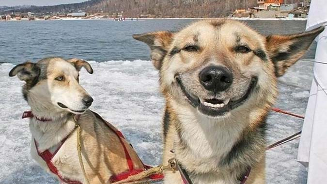 собака смеётся, собака улыбается