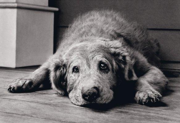 Стареющая собака