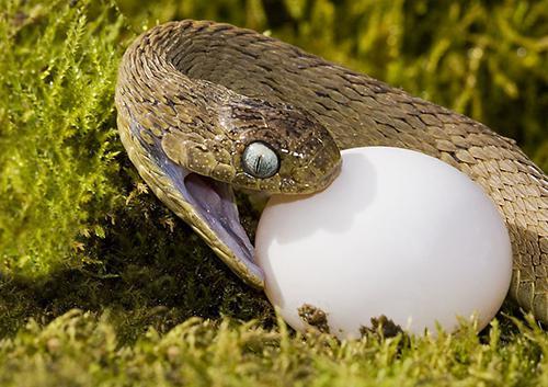 Змея поедает собственных детенышей