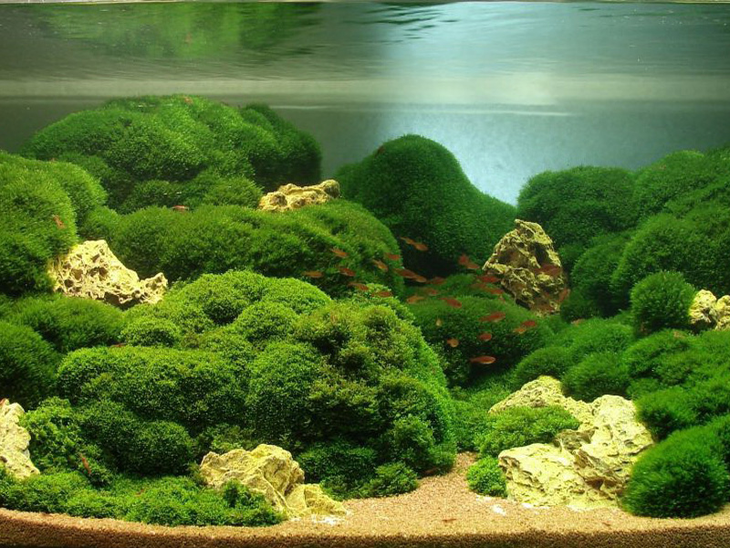 мох в аквариуме