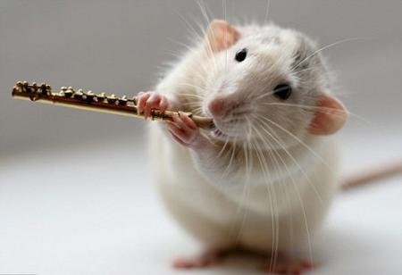 уход за крысой домашней