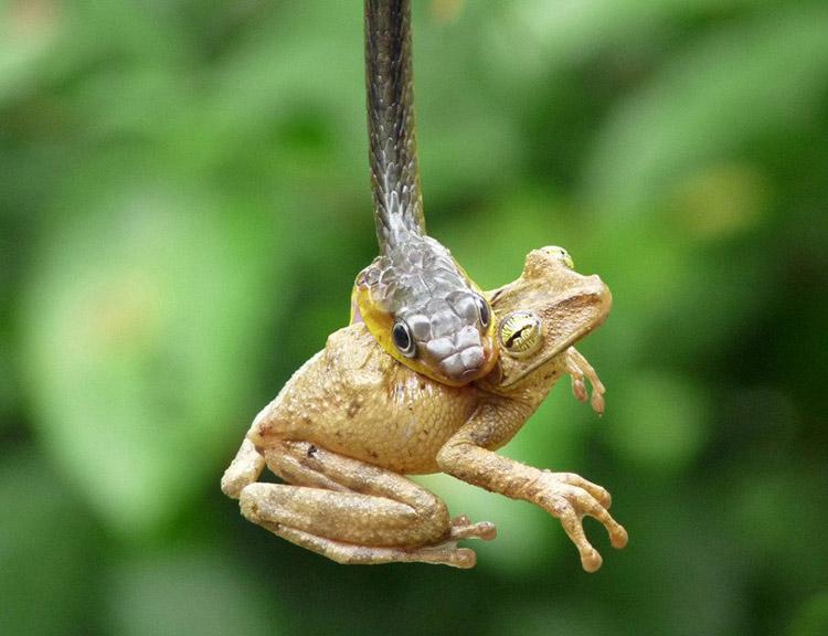 Змея поедает жертву в два раза длиннее собственного тела