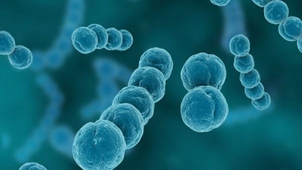 бактерия стептококус